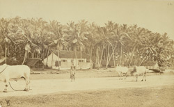 Cocoa nut trees at Pointe de Galle, Ceylon